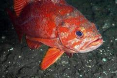 Vermillion Rock Fish Royalty Free Stock Photo