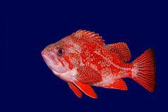 Vermillion Rockfish - Sebastes Miniatus. Shown against dark blue background Royalty Free Stock Photography
