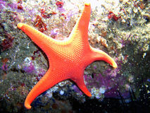 Vermillion Sea Star. Vermillion Red Sea Star found off of central California's Channel Islands stock photos
