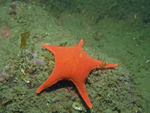 Vermillion Star (Mediaster aequalis) Stock Photo