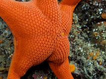 Vermillion Star (Mediaster aequalis). A vibrant Vermillion Star (Mediaster aequalis) photographed while scuba diving in the cold Pacific Ocean in southern Stock Images