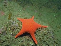 vermillon d'étoile de mediaster d'aequalis Photo stock