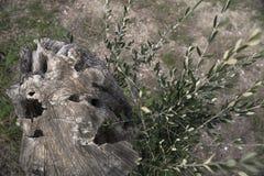 Verminder een olijfboom gaf nieuwe spruiten Het leven vindt de juiste manier het nieuwe leven van oude boom royalty-vrije stock foto