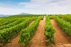 Vermindernde Reihen des Weinberg-Feldes in Süd-Frankreich Lizenzfreie Stockbilder