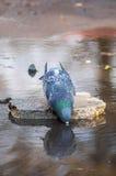Vermoeid duif drinkwater Stock Afbeeldingen