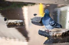 Vermoeid duif drinkwater Stock Foto