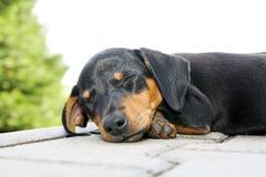 Vermoeid puppy Stock Afbeeldingen