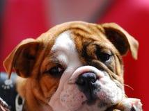 Vermoeid puppy Stock Foto's