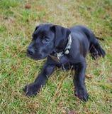 Vermoeid puppy Royalty-vrije Stock Afbeelding