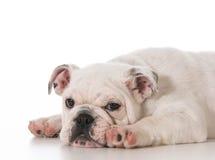 Vermoeid puppy Royalty-vrije Stock Foto's