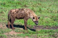 Vermoeide bevlekte hyena of crocuta in savanne royalty-vrije stock afbeeldingen