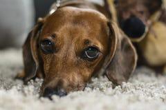 Vermoeide de hond ziet eruit Royalty-vrije Stock Afbeeldingen