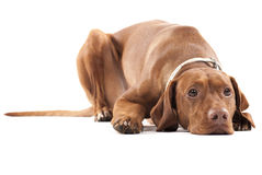 Vermoeide hond. stock foto's