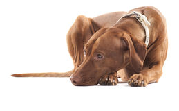 Vermoeide hond. royalty-vrije stock afbeeldingen