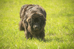 Vermoeide hond Stock Foto's