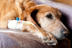 Vermoeide hond die infusie met cannula in ader neemt Stock Foto