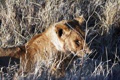 Vermoeide jonge leeuw Stock Afbeeldingen