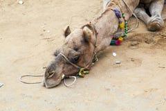 Vermoeide kameel die op de aarde liggen Royalty-vrije Stock Fotografie
