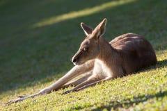 Vermoeide kangoeroe Royalty-vrije Stock Afbeeldingen