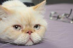 Vermoeide kat Stock Fotografie