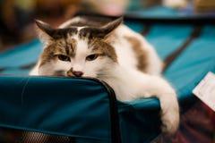 Vermoeide kat Stock Foto