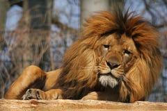 Vermoeide leeuw Stock Afbeeldingen