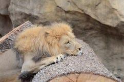 Vermoeide leeuw Stock Foto