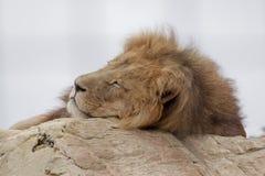 Vermoeide leeuw Stock Fotografie