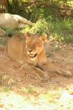 Vermoeide leeuwin Royalty-vrije Stock Afbeelding
