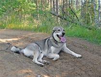Vermoeide oververhitte hond op bosweg in hete dag royalty-vrije stock foto