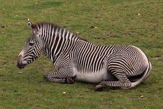 Vermoeide zebra Royalty-vrije Stock Fotografie