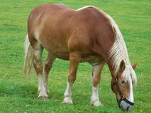 Vermont Belgian Draft horse. A beautiful chestnut Belgian Draft horse grazes in a field in vermont. Raised for their sweet temperament and conformation they make Stock Image