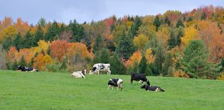 Vermont Fall Foliage, Mount Mansfield, Vermont. Vermont Fall Foliage with Dairy Cattles, Jeffersonville, Vermont, USA Stock Images