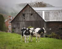 Vermont Holstein Cows. A pair of Holstein cows on a an old farm in Vermont on a misty morning in autumn Royalty Free Stock Photo