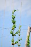 Vermont Hops in summer. Watching the hops grow in Vermont Stock Images