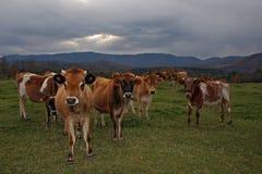 Vermont-Kühe Lizenzfreie Stockbilder