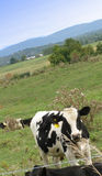 Vermont View. Cow with happy expression at Vermont dairy farm Stock Photography