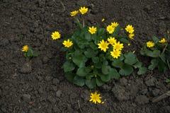 Verna de Ficaria con las pequeñas flores amarillas Imágenes de archivo libres de regalías