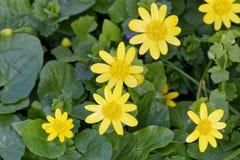 Verna de Ficaria da ficária da flor da mola em uma natureza Imagem de Stock Royalty Free