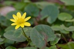 Verna de Ficaria da ficária da flor da mola em uma natureza Fotos de Stock Royalty Free
