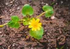 Verna di Ficaria nel giardino fotografia stock libera da diritti