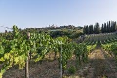Vernaccia vingårdar på de Siena kullarna i Tuscany Royaltyfri Bild