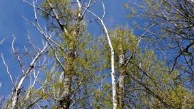 Vernachlässigte Pappelbäume und Himmel, vertikaler Schuss, großer trockener Pappelbaum, gebrochen durch Sturm stock video