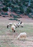 Vernachlässigte, schmutzige Schafe, die in den felsigen Bergen, Atlas, MO weiden lassen Lizenzfreies Stockfoto