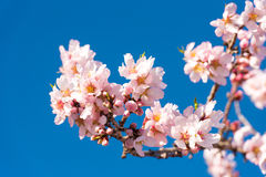 The vernal blooming of an almond tree. Blue sky background, pink flowers. The vernal blooming of an almond tree. Blue sky background, pink flowers stock image