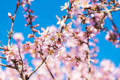 The vernal blooming of an almond tree. Blue sky background, pink flowers. The vernal blooming of an almond tree. Blue sky background, pink flowers stock photo