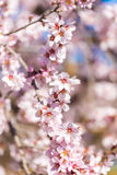 The vernal blooming of an almond tree. Blue sky background, pink flowers. Vertical. Close-up. The vernal blooming of an almond tree. Blue sky background, pink royalty free stock image
