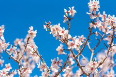 The vernal blooming of an almond tree. Pink flowers on blue sky background. The vernal blooming of an almond tree. Pink flowers on blue sky background royalty free stock image