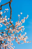 The vernal blooming of an almond tree. Pink flowers on blue sky background. Vertical. The vernal blooming of an almond tree. Pink flowers on blue sky background royalty free stock photo