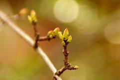 Vernal bud on twig Stock Image
